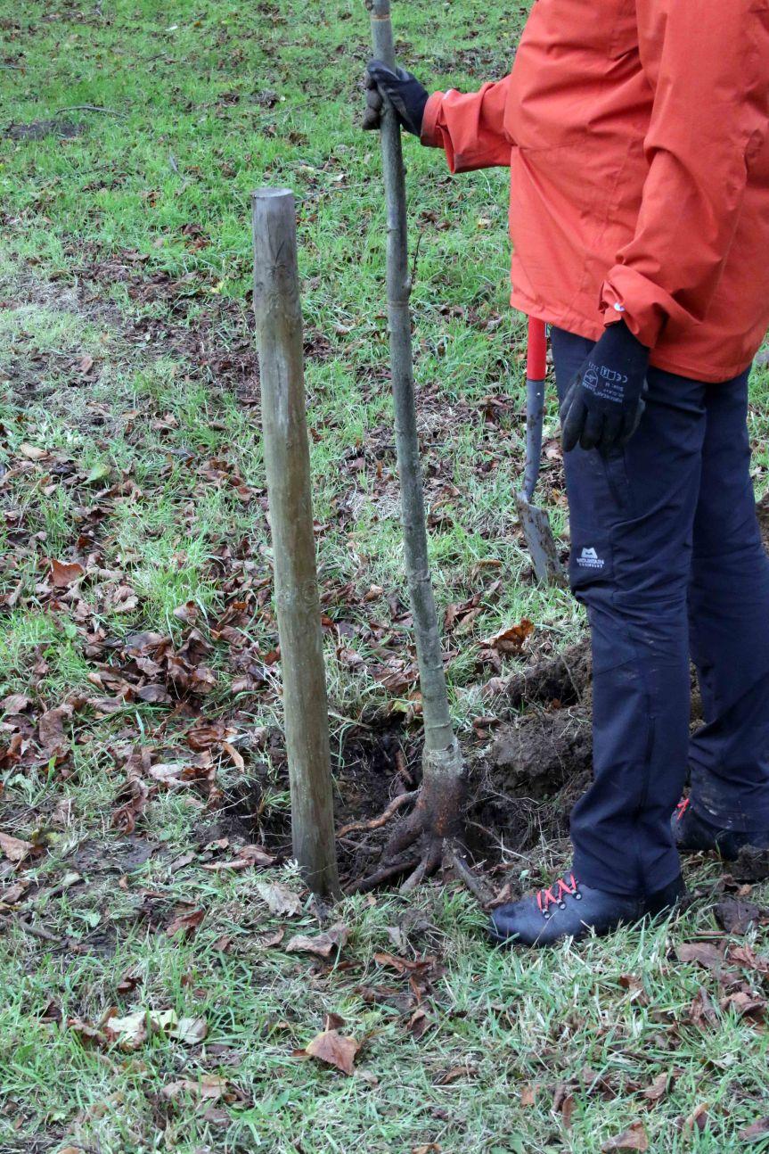 IMG 0675 Tree planting Cobham Hall 2015-11-28 c1e