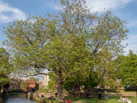 IMG_1195 Ash trees affected by dieback Westgate Park 2018-05-15