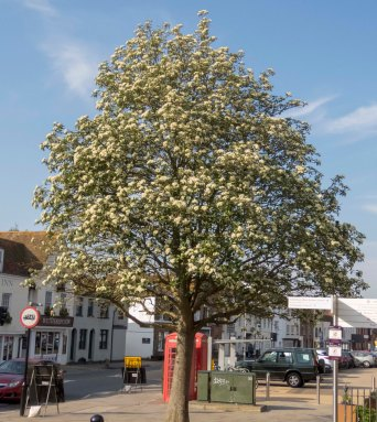 IMG_1222 Swedish Whitebeam as a Street Tree Westgate 2018-05-15