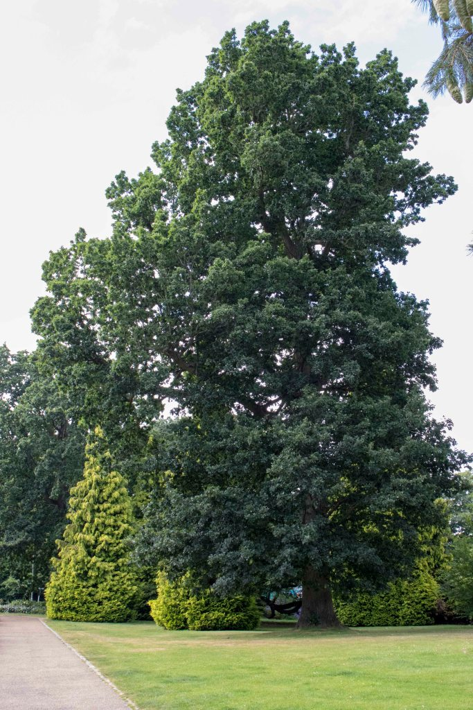 IMG 4273 English Oak Dunorlan Park entrance 2016-07-27