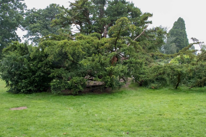 IMG 4488 Veteran Yew used for climbing Dunorlan Park 2016-07-28