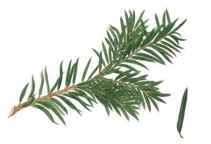 Taxus_baccata_foliage_illustration